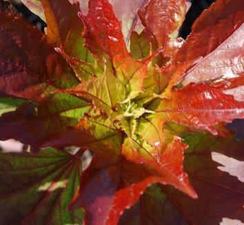 Hibiscus 'Kopper King' PP10793 4