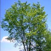 Ulmus americana 'Valley Forge'