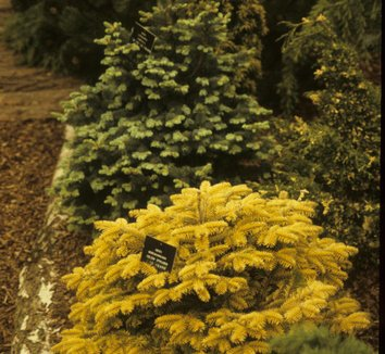 Abies nordmanniana 'Golden Spreader' 6 form