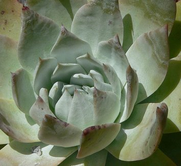 Dudleya anthonyi 1