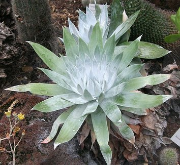 Dudleya anthonyi 2
