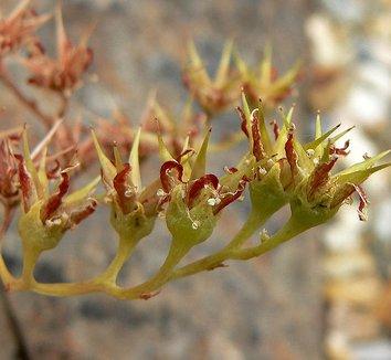 Dudleya hassei 6 flower
