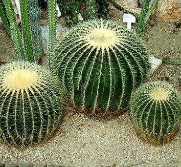 Echinocactus grusonii 3 form