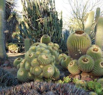 Echinocactus grusonii 9 form