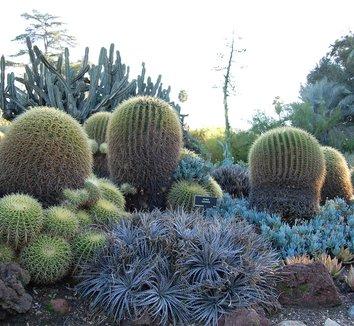 Echinocactus grusonii 7 form