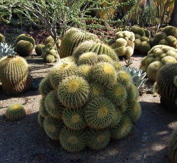 Echinocactus grusonii 6 form