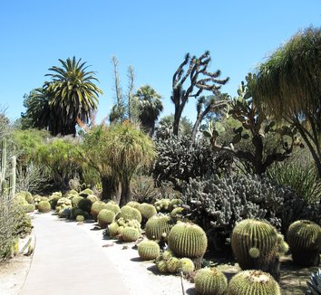 Echinocactus grusonii 12
