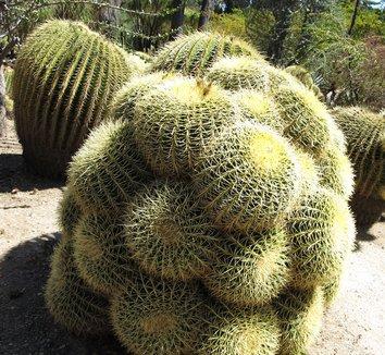 Echinocactus grusonii 11 form