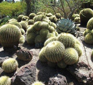 Echinocactus grusonii 13 form