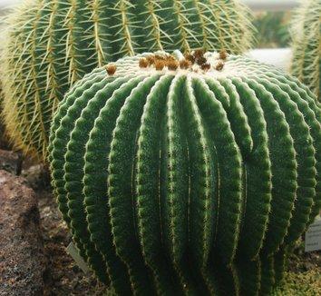 Echinocactus grusonii 18