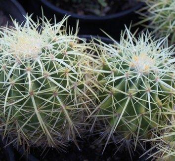 Echinocactus grusonii 23