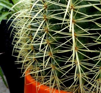 Echinocactus grusonii 25