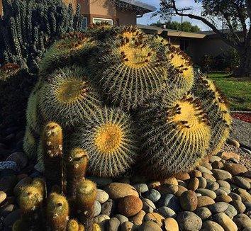Echinocactus grusonii 26 form