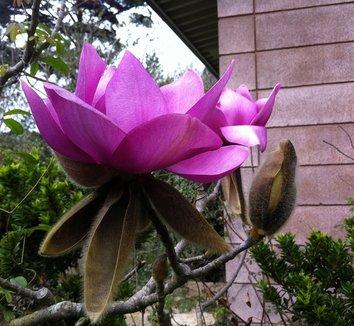 Magnolia campbellii 'Lanarth' 1 flower