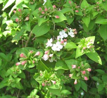 Abelia mosanensis 1 flower