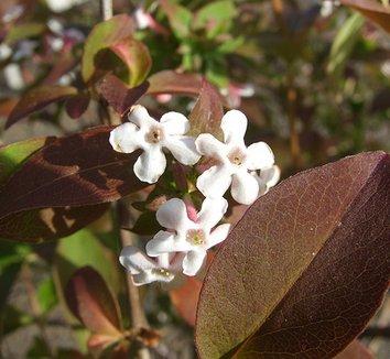 Abelia mosanensis 11 flower