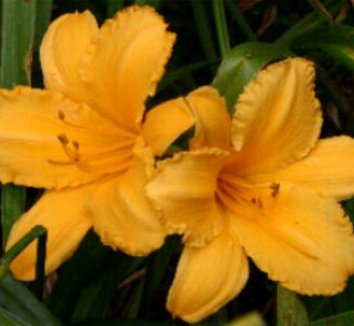 Hemerocallis 'Anna' 1 flower