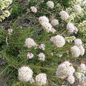 Eriogonum fasciculatum