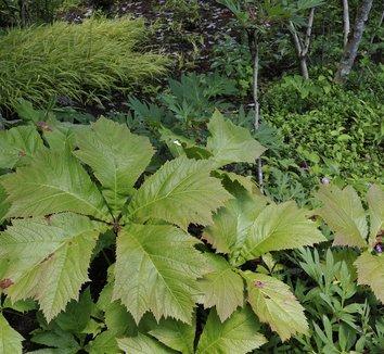 Rodgersia podophylla 1