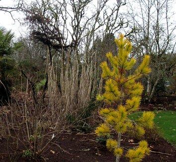 Pinus contorta var. latifolia 'Chief Joseph' 2