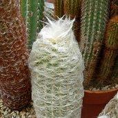 Espostoa lanata var. gracilis