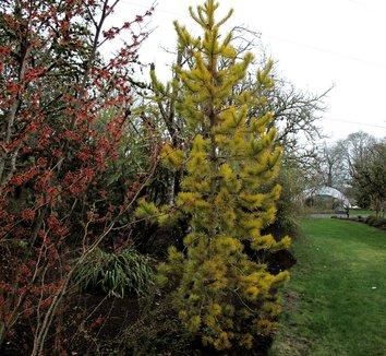 Pinus contorta var. latifolia 'Chief Joseph' 3