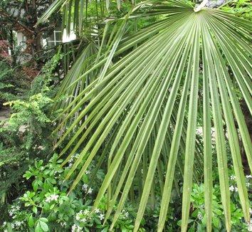 Trachycarpus fortunei 6