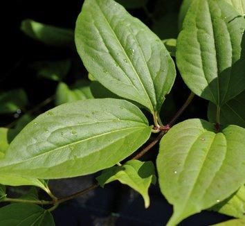 Heptacodium miconioides 2