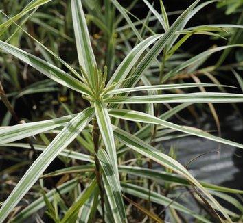 Carex phyllocephala 'Sparkler' 3