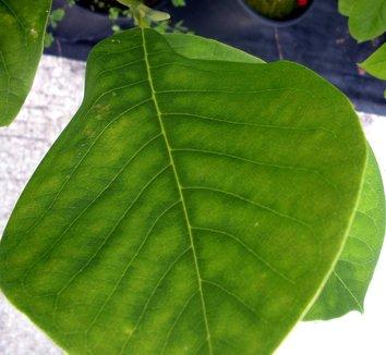 Magnolia 'Gretel Eisenhut' 4