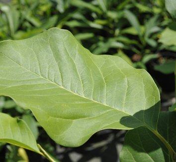 Magnolia 'Caerhays Belle' 1