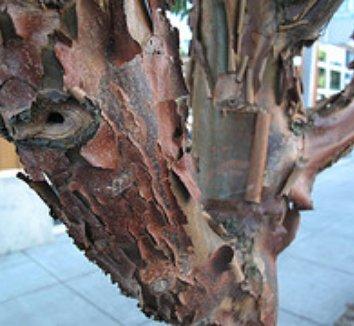 Acer griseum 4