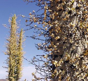 Fouquieria columnaris 4 flower, trunk