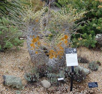 Fouquieria columnaris 11