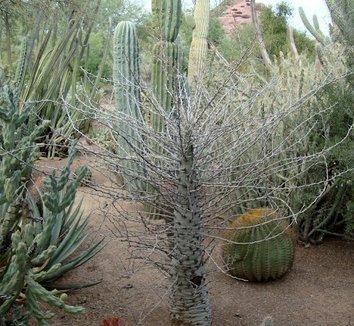 Fouquieria columnaris 12 trunk