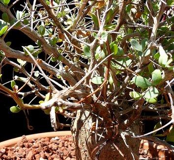 Fouquieria columnaris 14