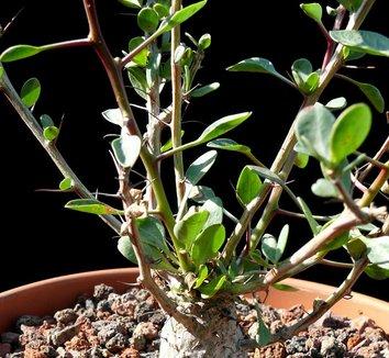 Fouquieria columnaris 15