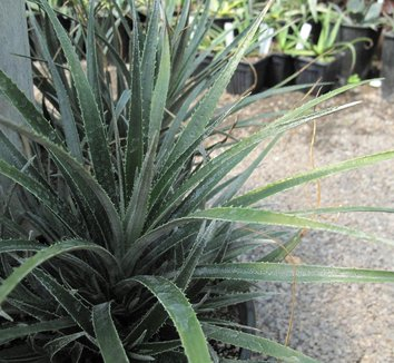 Fascicularia pitcairniifolia [UCBG clone] 4
