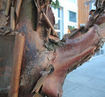 Acer griseum 5