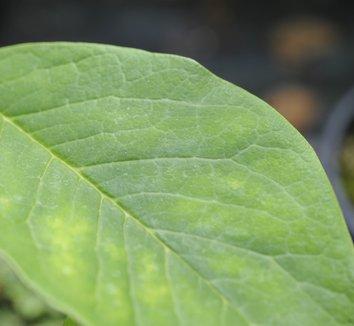 Magnolia sargentiana 'Blood Moon' 4