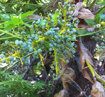 Trachycarpus fortunei 7