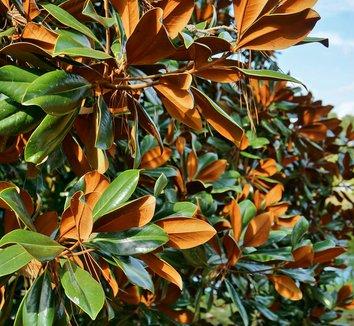 Magnolia grandiflora 'Bracken's Brown Beauty' 7