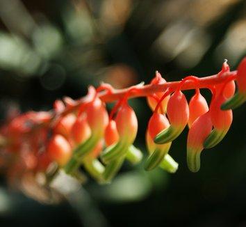 Gasteria disticha 3 flower