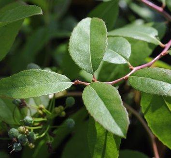 Zenobia pulverulenta 'Raspberry' 1