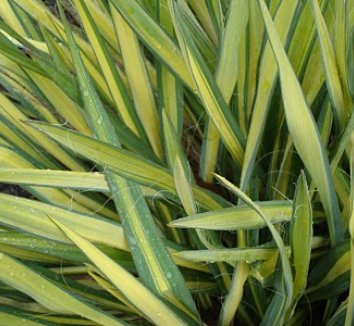 Yucca filamentosa 'Color Guard' 2