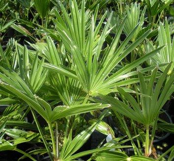 Trachycarpus wagnerianus 1