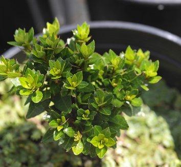 Rhododendron 'Kazan Dwarf' 1 form