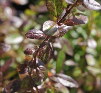 Abelia floribunda 5