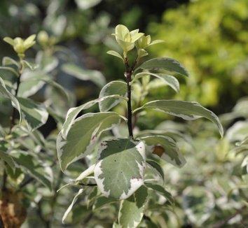 Pittosporum tenuifolium 'Marjorie Channon' 1