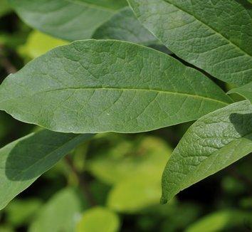 Magnolia 'Gretel Eisenhut' 1